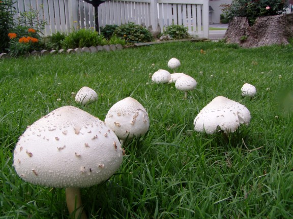 Fairy Rings Mushrooms